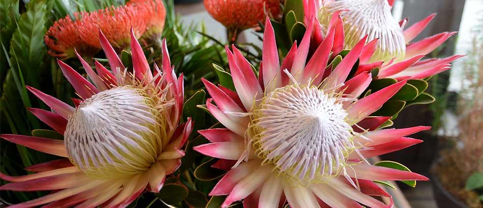 大きな花 プロテア「マディバ」