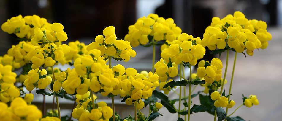 春色の花 カルセオラリア
