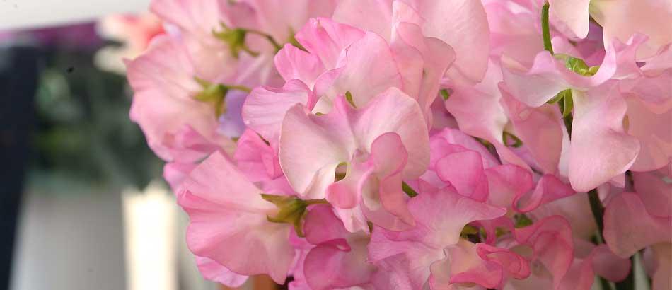 春の花スイトピー
