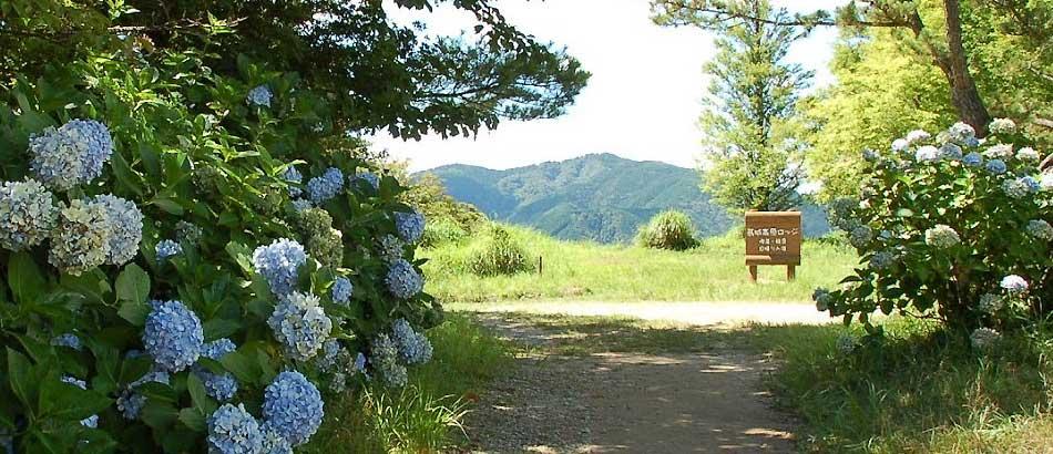 お題は「紫陽花」数年前の葛城山上での風景です。