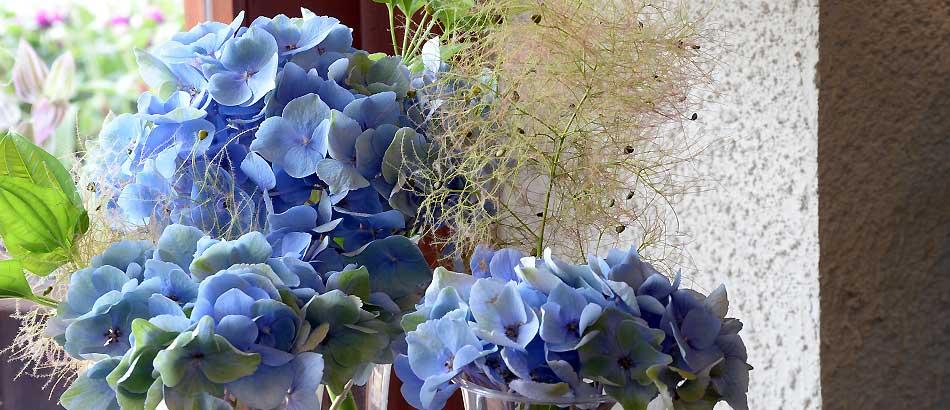 紫陽花とスモークツリー