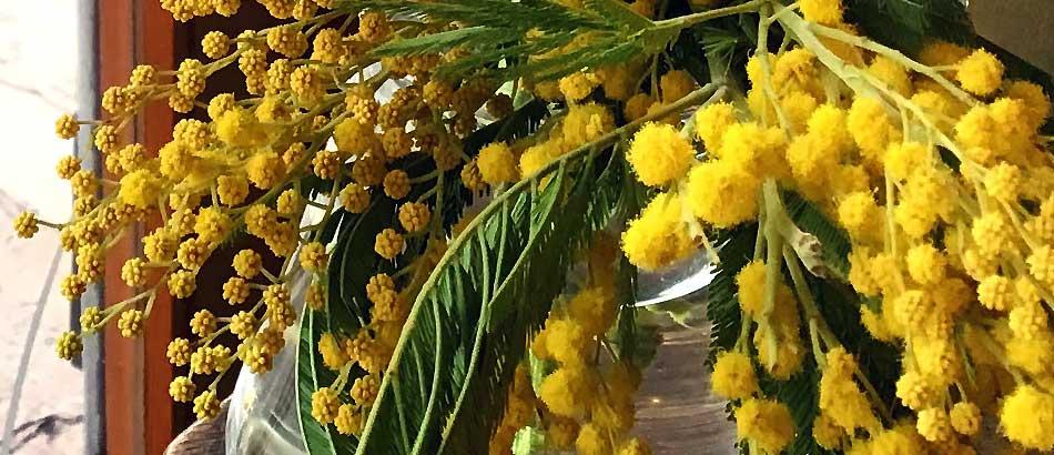 ミモザ 春を告げる花として、またドライフラワーとして大変人気です