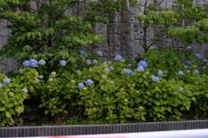 青い紫陽花とハナミズキ