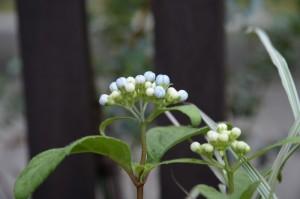 常緑紫陽花