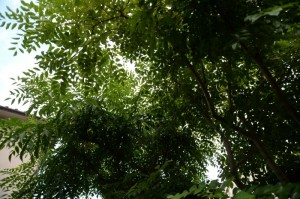トネリコからの木漏れ日